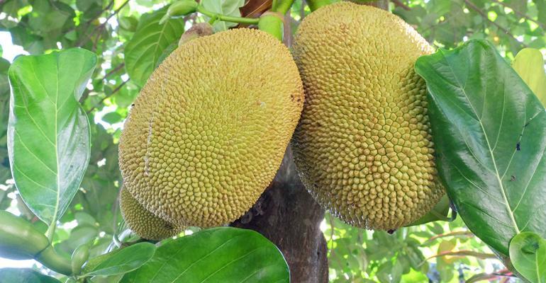 jackfruit1000
