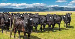 Black_Angus_cattle(G).jpg