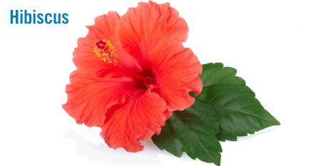 hibiscus-2-flower.png