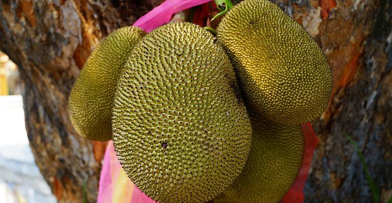 Jackfruit39s adaptability has won it many fans